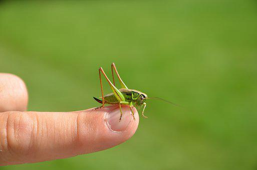 Green, Grasshopper, Insect, Nature, Macro, Outdoor