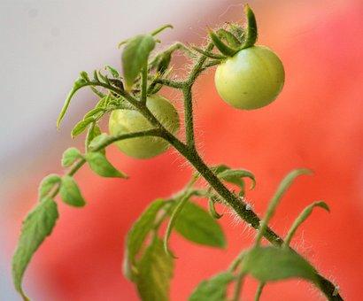 Tomato, Cherry Tomato, Unripened, Plant, Green, Stem