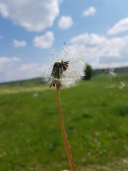Dandelion, Wind, Plant, Green, Summer