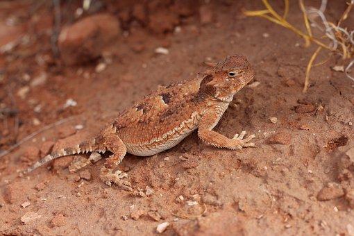 Horned Lizard, Horny Toad, Lizard, Reptile, Desert