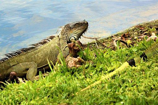 Iguana, Lizard, Dragon, Green, Iridescent, Comb, Scales