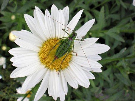 Margarita, Grasshopper, Nature, Macro, Insects, Flora
