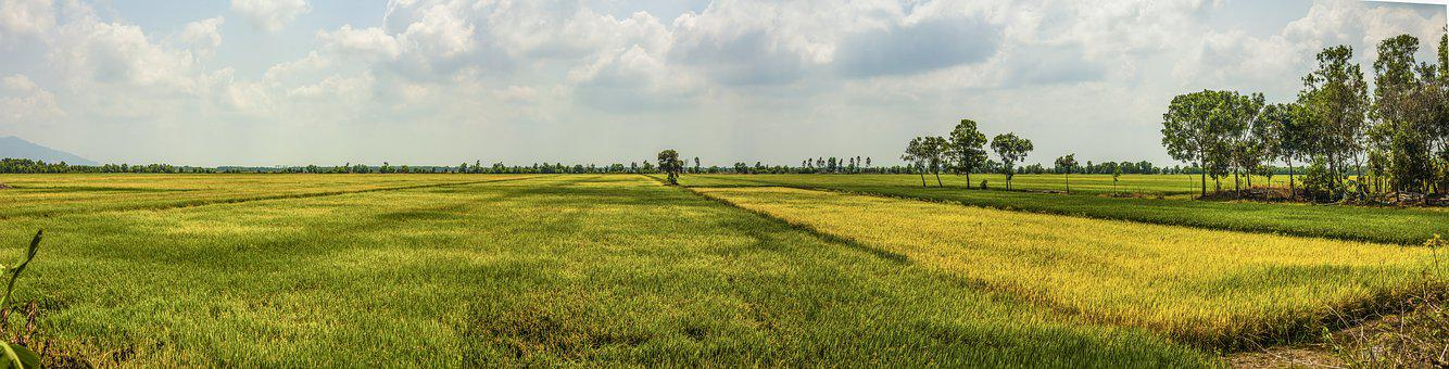Mekong Delta, Rice, Field, Countryside