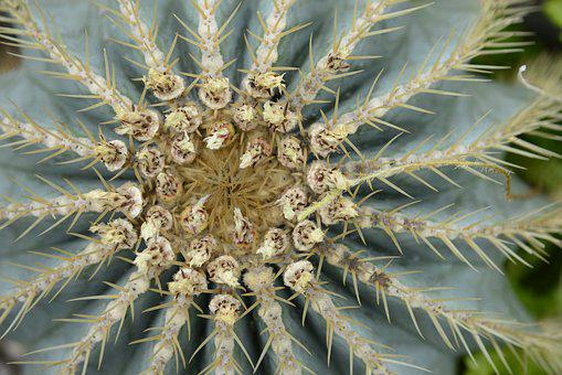 Cactus, Blossom, Bloom, Prickly, Nature, Plant