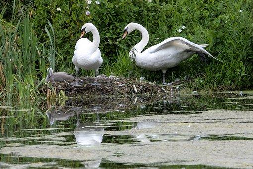 Swan, Bird, Water, Nature, Lake, Animal, Swim, Plumage