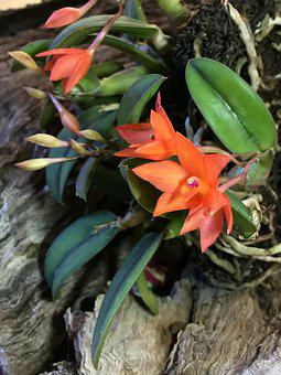 Orchid, Petals Orange, Roots, Plant Air