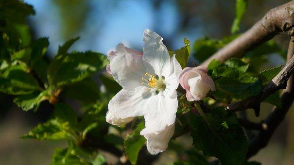 Nature, Plants, White, Flowers, Sprig, Tree, Fruit
