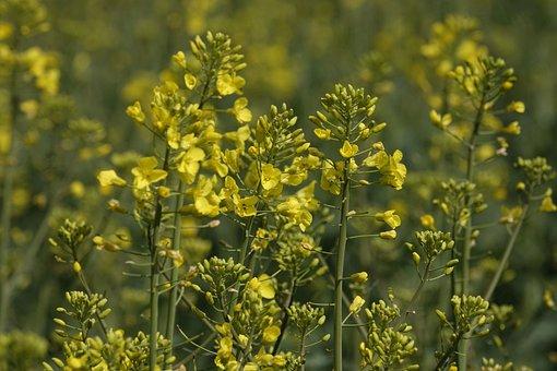 Rape Blossoms, Oilseed Rape, Close Up