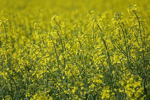 Field Of Rapeseeds, Oilseed Rape, Rape Blossoms, Yellow