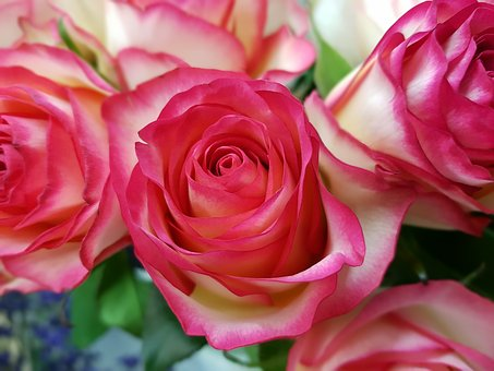 Rose, Roses, Rosaceae, Red, White, Composites, Flowers