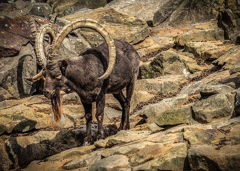 Capricorn, Rock, Animal, Alpine Ibex, Nature, Horns