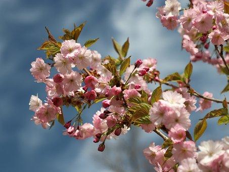 Sakura, Spring, Bloom, Cherry, Tree, Nature, Japanese