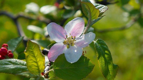 Nature, Plants, Flourishing, Apple, Flower, Spring