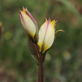 Tulip, Yellow, Flower, Spring, Flowers, Tulips, Bloom