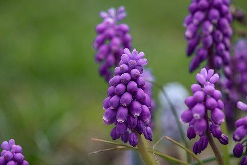 Grape Hyacinth, Flowers, Bloom, Flora, Nature, Spring