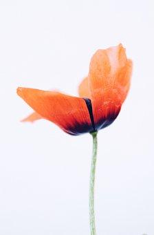 Spring, Bloom, Flowers, May, Poppies, Klatschmohn, Red