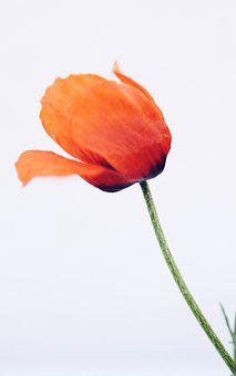 Poppies, Klatschmohn, May, Mother's Day, Spring, Nature