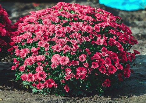 Chrysanthemum, Flowers, Flower, Spring, Nature, Pink