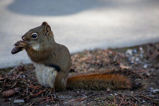 Fox Squirrel, Squirrel, Gnaw, Feed, Hibernate, Winter