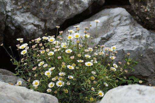 Daisy, Flowers, Stones, Background, Green, Nature