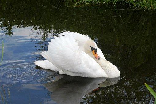 Swan, Plumage, Swimming, Stately, Elegant, Waterfowl