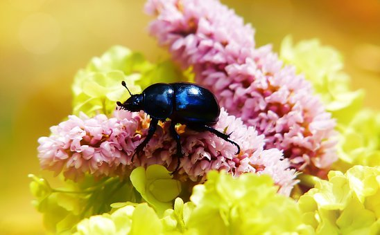 Forest Beetle, The Beetle, Flower, Antennae, Abdomen