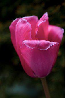 Tulip, Pink, Flower, Blossom, Bloom, Nature, Flora