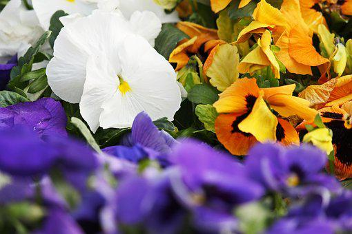 White Pansy, Pansy, Spring, Garden, Bloom, Violet