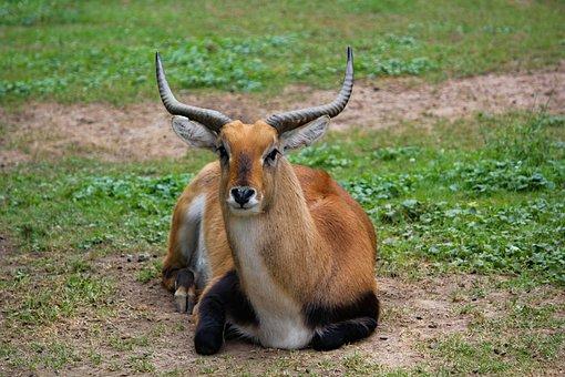 Waterbuck, Red, The Antelope, Animal, Mammal, Lying