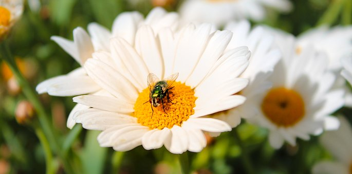 Marguerite, Fly, White, Nature, Close Up, Blossom