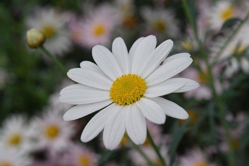Flower, Flowers, White Flower, Petals, Stamens, Nature