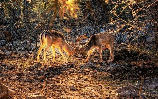 Animal, Deer, Nature, Mammal, Wildlife, Stag, Wild