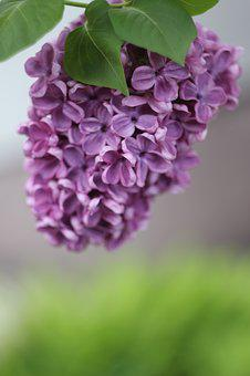 Without, Lilac, Garden, Bush, Spring, Nature, Plant