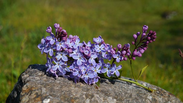 Nature, Plants, Flourishing, Without, Violet, Spring