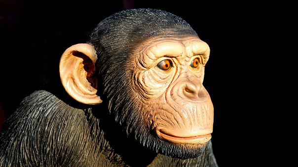 Chimpanzee, Monkey, Animal, Ape, Wildlife, Mammal