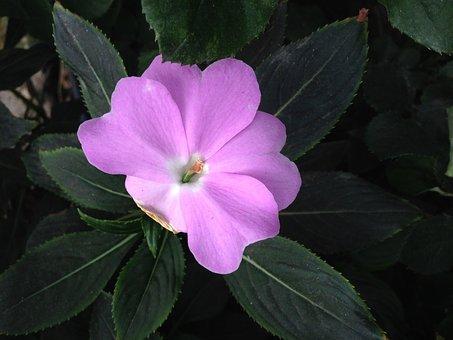 Viola, Purple, Flower, Beauty, Plant, Petals