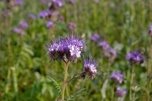 Bueschelschoen, Food Source, Bee Friend, Bees, Flower