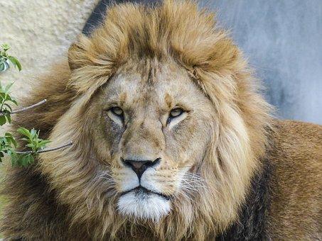 Lion, Big Cat, Predator, Lioness, Animal, Wildlife