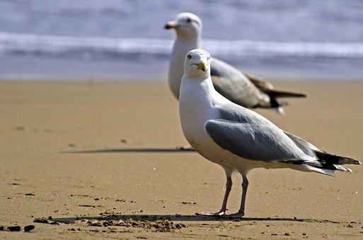 Seagull, Bird, White, Sea, Gull, Sky, Background, Beach