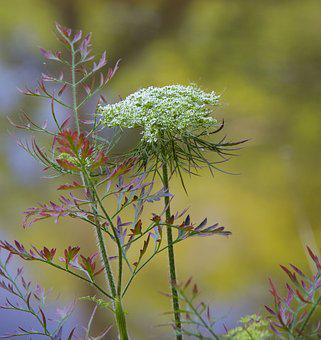 Milkweed, White, Flower, Wildflower, Nature, Bloom