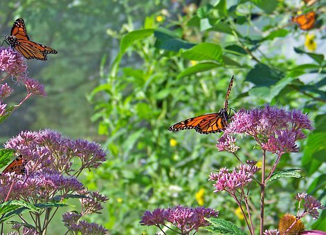 Butterflies, Monarch, Flowers, Insect, Wings, Bug