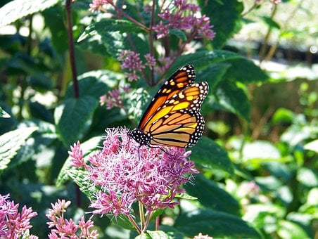 Butterfly, Monarch, Insect, Wings, Bug, Wildlife