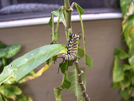 Caterpillar, Monarch, Butterfly, Milkweed, Plant
