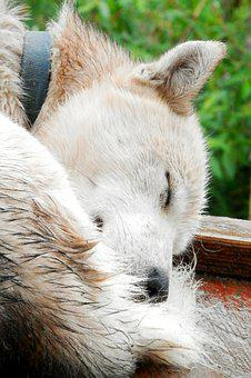 Dog, Husky, Sleep, Nap, Canine, Content, Peaceful, Doze
