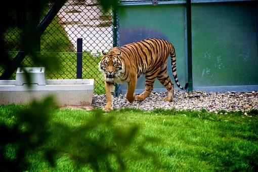 Tiger, Animal, Wildlife, Zoo, Cat, Mammal, Jungle