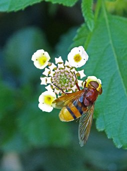 Insect, Hoverfly, Sirphidae, Diptera