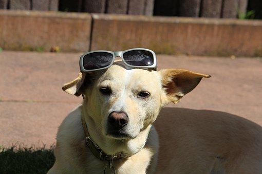 Dog, Pet, Podenco, Quadruped, Animal World