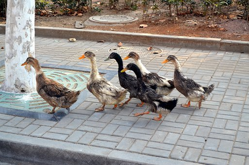Duck, Ducks, Leader, Lead, Flock, Birds, Animal