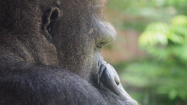 Gorilla, Face, Gorilla Face, Ape, Monkey, Portrait