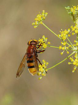 Insect, Hoverfly, Sirphidae, Fennel, Fennel Flower